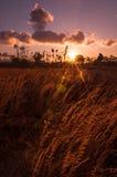 Solnedgång på den Batujai risfältet Arkivfoton