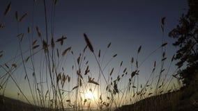 Solnedgång på en bakgrund av högväxt gräs lager videofilmer