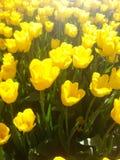 Solnedgång på en Tulip Field (blommagruppen) royaltyfri bild