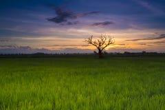 Solnedgång på risfält och kontur av det döda trädet Fotografering för Bildbyråer
