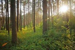 Solnedgång på skogen Fotografering för Bildbyråer