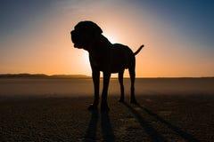 Solnedgång på stranden med en Neapolitan mastiff Royaltyfria Bilder