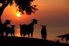 Solnedgång på Thassos och geten Arkivfoto