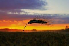 Solnedgång på vetefältet Arkivfoto