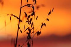 Solnedgång på veteskörd arkivbild