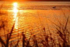 Solnedgång sjö med pelikan Arkivbilder