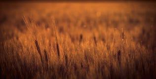 Solnedgång som faller på vetefält Royaltyfri Foto