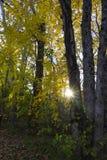 Solnedgång som fotograferas till och med träd under höst Royaltyfria Foton