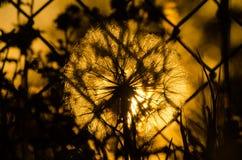 Solnedgång som glöder till och med en maskros Arkivbilder
