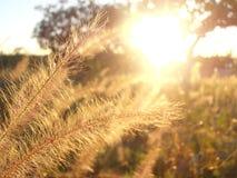 Solnedgång till och med högt gräs Arkivbild