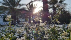 Solnedgång till och med vita blommor arkivfoto