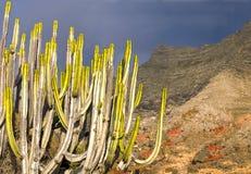 Solnedgångbakgrund med kaktusen Arkivbilder