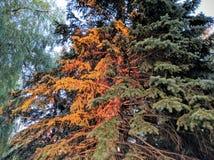 Solnedgångbarrträd Fotografering för Bildbyråer