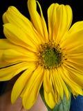 Solnedgångblomma som poserar på min hand Royaltyfri Fotografi