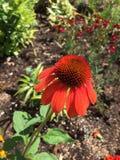 Solnedgångconeflower Arkivfoton