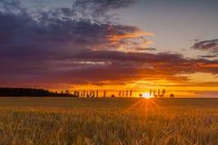Solnedgången över sädes- fält med fullvuxet gå i ax upp Royaltyfria Foton