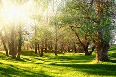 Solnedgången i skog, solljus med trädet skuggar på gläntan Arkivfoton