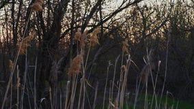 Solnedgången i skogsmarkområde med den torra vassen ångar på förgrund och träd på att panorera för bakgrund stock video