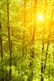 Solnedgången sörjer in trän Royaltyfri Bild