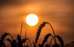 Solnedgångfältet och mognar havre arkivfoto