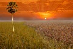 Solnedgånghimmel och ett sparat ris royaltyfri foto
