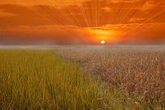 Solnedgånghimmel och ett sparat ris arkivfoto