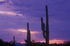 Solnedgångkontur av Saguarokaktuns, nationell monument för Saguaro, Sonoraöken Royaltyfri Fotografi