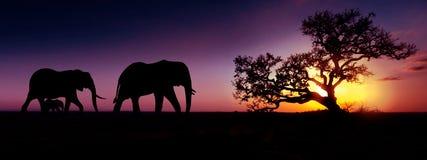 Solnedgångkontur för afrikanska elefanter Lopp-, djurliv- och milj?begrepp royaltyfri foto