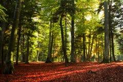 Solnedgångljus i en skog under höst Arkivbild