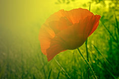 Solnedgångljus med vallmoblomman Royaltyfria Bilder