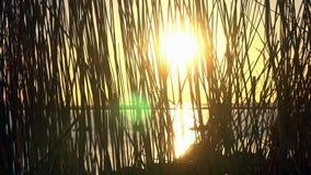 Solnedgångljus till och med phragmites stock video