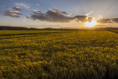 Solnedgångrisfält royaltyfria foton