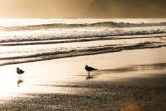 Solnedgångseagull på stranden Fotografering för Bildbyråer