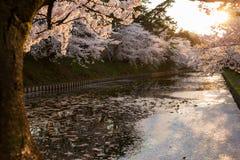 Solnedgångsikt med den körsbärsröda blomningen Royaltyfri Foto