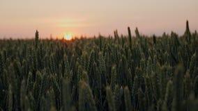 Solnedgångsol som skiner till och med gröna veteblad på ett jordbruks- fält på solnedgången lager videofilmer
