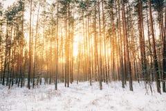 Solnedgångsoluppgång i snöig skog för härlig vinter Arkivfoto