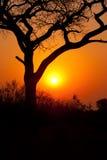 Solnedgångträdkontur Arkivbild