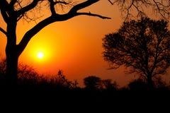 Solnedgångträdkontur Arkivfoto