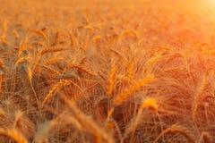 Solnedgångvetefält Arkivfoto