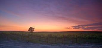 solnedgångvingård Arkivbild