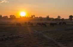 Solnedg?ng i ett landsf?lt med bufflar som betar, norr ?st Thailand, Asien arkivbilder