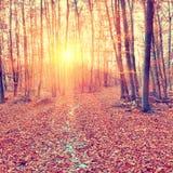 Solnedgång i höstskogen Arkivfoto