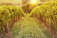 Solnedgång i vingårdar Arkivbild