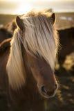 Solnedgång i vinter med isländska hästar Arkivfoton
