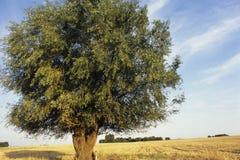 Solo árbol Fotografía de archivo libre de regalías