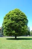 Solo árbol Imagen de archivo