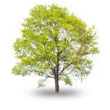Solo árbol aislado en el fondo blanco Fotos de archivo libres de regalías