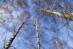 Solo árbol de abedul Imagenes de archivo
