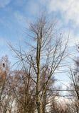 Solo árbol de abedul Imagen de archivo
