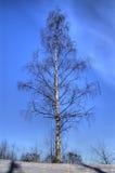 Solo árbol de abedul. Fotos de archivo libres de regalías